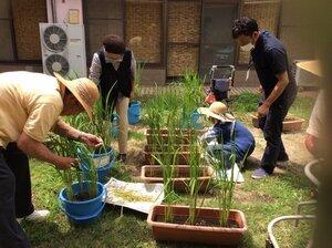 デイサービス 稲の栽培